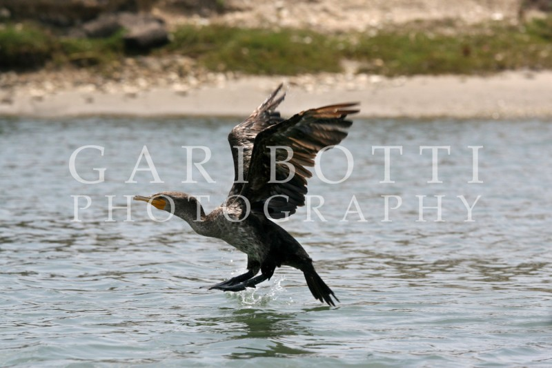 Double-Crested Cormorant (2)