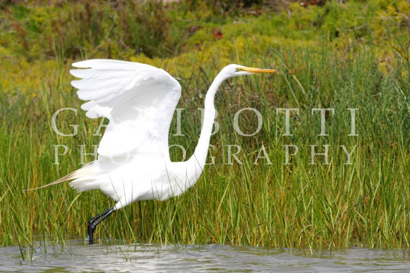 Great Egret (4)